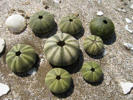 スイカのようなカボチャのような貝殻