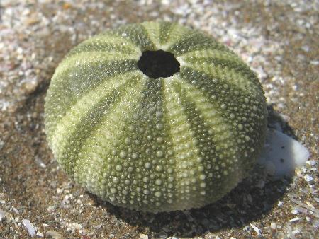 バフンウニの殻の写真