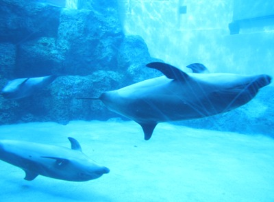 仰向けに泳ぐバンドウイルカ