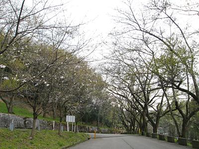 2007年桜の花が咲かず・てんぐ巣病?
