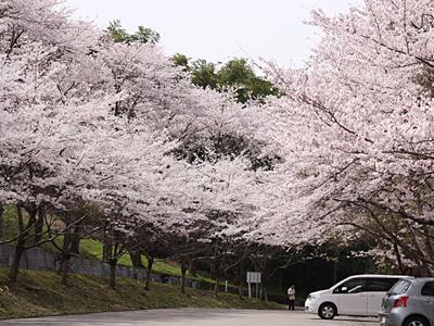 2008年の桜・復活