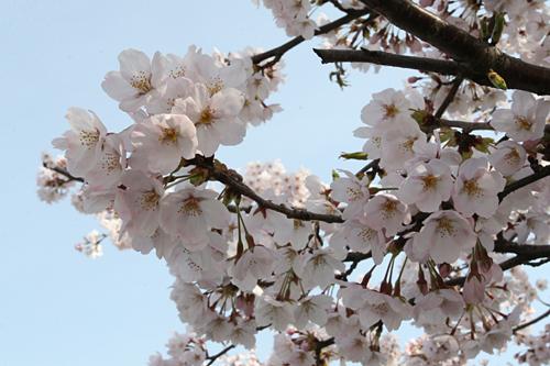 下向きに咲く桜の花2008