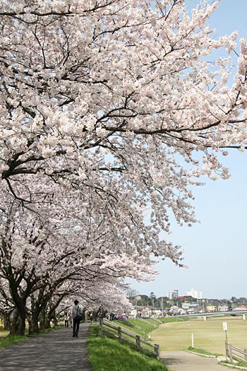 桜の写真2008