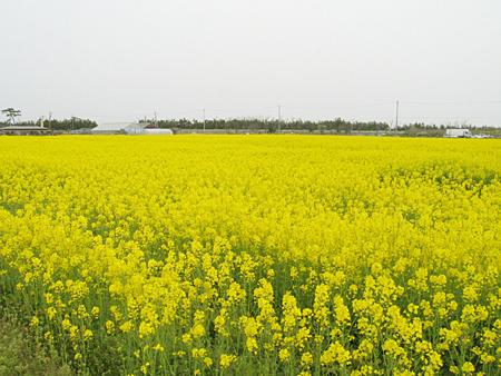 菜の花畑-松任ccz