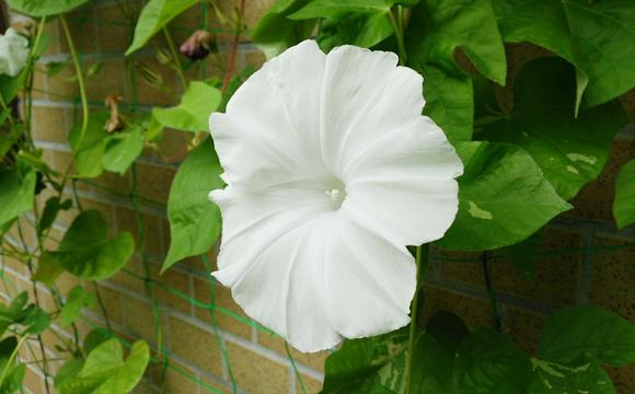 白いアサガオ